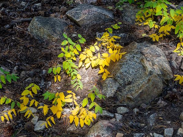 Apocynum androsaemifolium (spreading dogbane) provides its reliable autumn color.