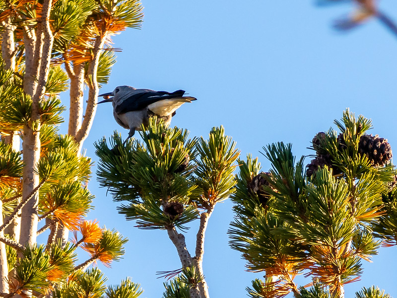 That evening, the camp's whitebark pines were graced by Clark's Nutcrackers.