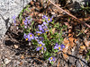 Solanum umbelliferum (blue witch).  Rather than being woody, as blue witch is at lower elevations, these plants are all new growth.  Smaller too.  Merced River Trail, above the Bunnell Cascades.