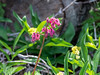 Dicentra formosa (Pacific bleeding heart), with a little false lily of the valley (Maianthemum) in the background.