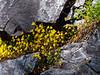 Mimulus guttatus (common monkeyflower) in one of the moist cracks.