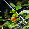 Lonicera ciliosa (orange honeysuckle).  I saw only a very few of these.