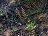 Heuchera micrantha (Alum Root).