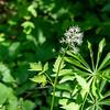 Actaea rubra  (bearberry, western baneberry).