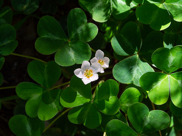 Oxalis oregana (redwood sorrel).   Carpets of this.