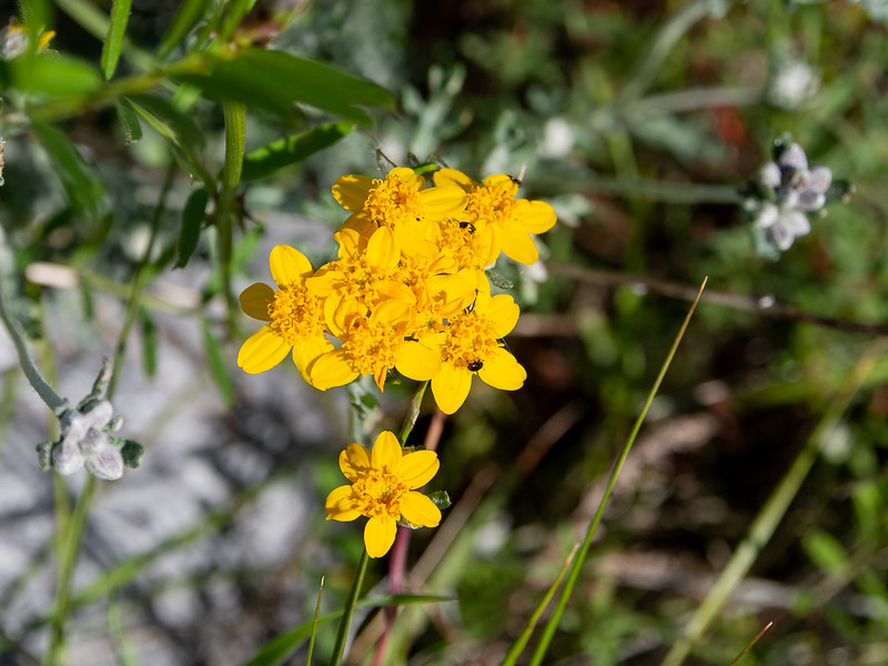 Eriophyllum confertiflorum  (Golden yarrow).