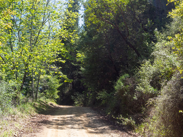 A view of the road as I head down.  Mostly big leaf maples and madrones right here.