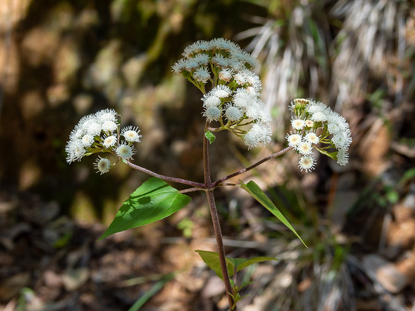 Ageratina adenophora (sticky snakeroot).  There was a vast field of this stuff down one draw.  Another weedy non-native.  It's an escaped ornamental and it is pretty.  It's a big brother of the garden Ageratum.