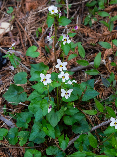 Viola ocelleta (two-eyed violet). This picture, from Tuesday near Duveneck's Hole, shows the plant.