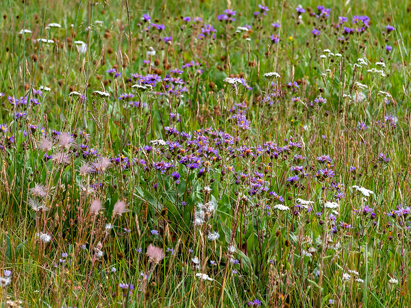 The adjacent meadows were alive with grasses and flowers.  Here daisies, yarrow, and the seed heads of prairie smoke.