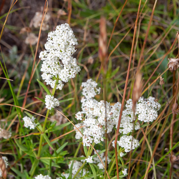 Galium boreale (northern bedstraw).  Another one I saw only here.