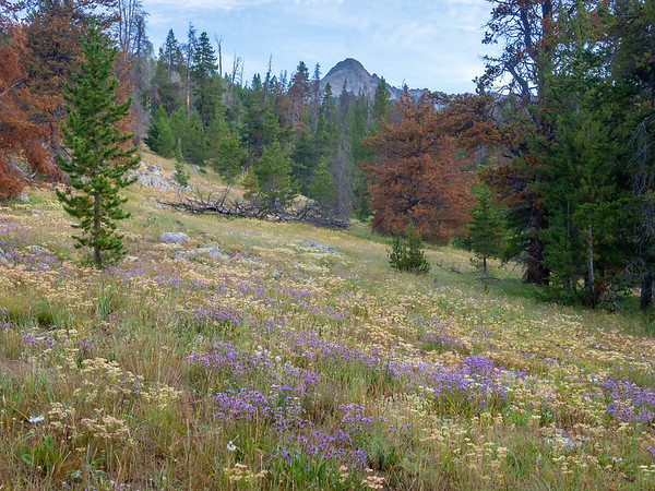 Loads of  buckwheats and asters (and a few yarrow) as I head up through the open forest.  The brown lodgepole pines have been hit by the pine beetle.