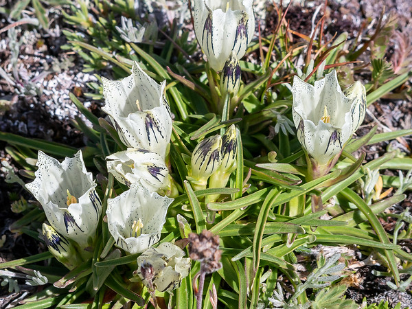 Gentiana algida (arctic gentian).  Even this high exposed tundra had flowers.  LOTS of these, in fact.