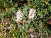 Bistorta bistortoides (bistort).  Lots of these too.  I saw bistorts lower down too.