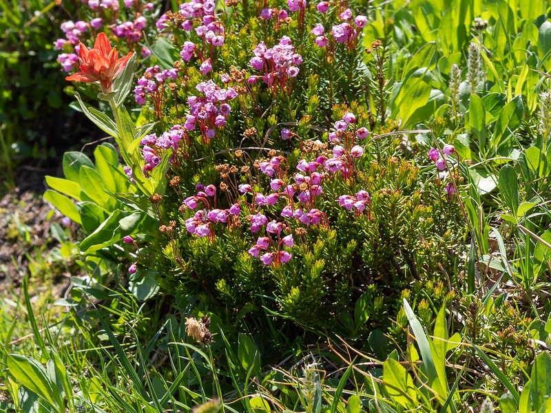 Phyllodoce empetriformis (pink mountain-heath), along with some paintbrush.