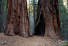 Sequoiadendron giganteum.  The two biggest ones in Merced Grove are down by the cabin.  My hiking poles give scale -- each is about 4'.