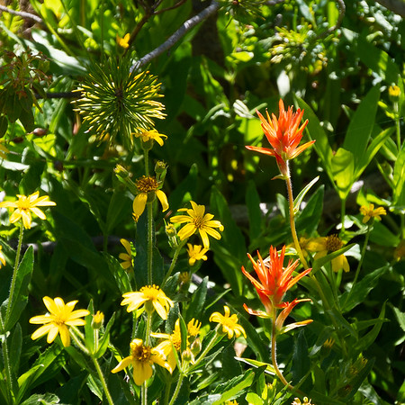 Castilleja minata (great red paintbrush) with a yellow composite that may be an Arnica.