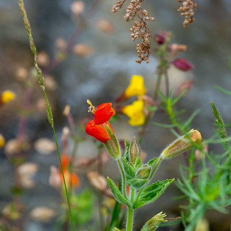 Mimulus cardinalis (scarlet monkey flower) by Division Creek.  Mimulus guttatus (common yellow monkeyflower) in the background.