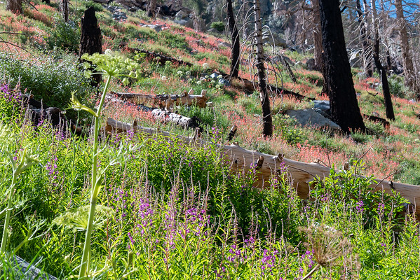 At arount 8,250', I hit the mother lode of flowers: fireweed, Angelica, and Bridge's Penstemon.  Scraggly, but certainly exuberant.