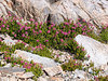 Phyllodoce brewerii (Brewer's [or purple] mountain heather) on the rocks.