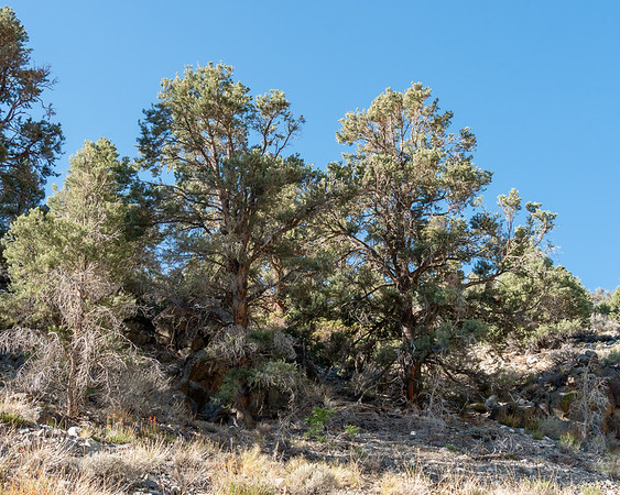 Pinus monophylla (pinon pines) at 6,800' on the Baxter Pass Trail.