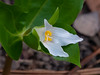 Trillum ovatum (western trillium).  A little more detail on a second plant a few feet from the first.  I only saw these two plants in bloom.