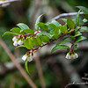 Vaccinium ovatum (California huckleberry).  This gives the preserve its name.  Clearly in the same family (Ericaceae) as the manzanitas.