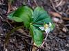 Trillum ovatum (Western trillium).