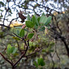 Arctostaphylos crustacea (brittle leaf manzanita) on the upper section of the Huckleberry Path was beginning to put out buds.