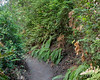 The narrow, vertical form of  huckleberry (Vaccinium ovatum) bushes meant the path could feel tightly closed in a few spots.   In the mix are a few brown bracken ferns and some limp sword ferns.