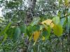 Alnus rhombifolia (white alder) maybe??
