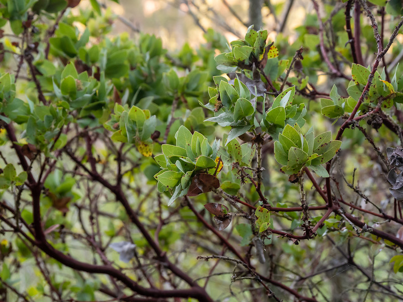 Arctostaphylos pallida (pallid manzanita).   CNPS 1B.1: rare, threatened, or endangered in CA and elsewhere (seriously threatened).  It now grows in the wilds only here in Huckleberry Reg. Preserve and at one other site in the East Bay hills.