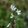 Lithophragma affine (San Francisco woodland star).  Many Lithophragma species look pretty similar, but for the location and flower details, I think this is the best match.