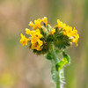 Amsinckia intermedia (common fiddleneck).