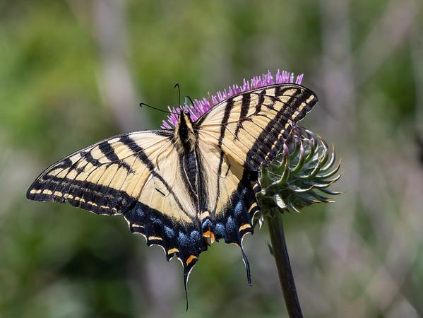 Swallowtail on Cirsium occidentale var. venustum (Venus thistle).