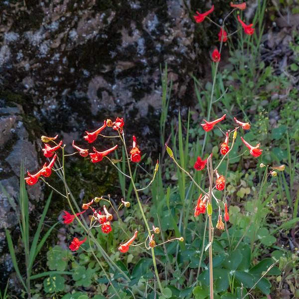 Delphinum nudicale (red delphinium).