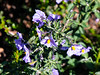 Solanum umbelliferum (blue witch).  Summit Trail between Oak Knoll and Devil's Elbow.