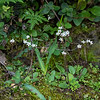 Micranthes californica (Greene's saxifrage), showng the whole plant.  The flowers are small: maybe 5mm across, maybe even a little less.