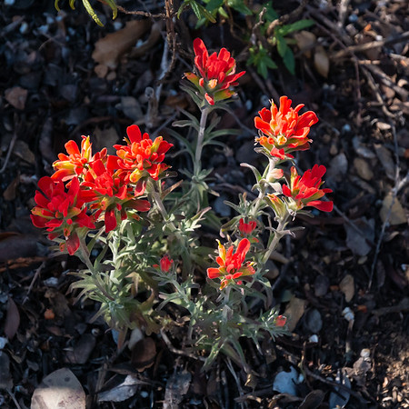 Castilleja foliolosa (woolly indian paintbrush).  Getting close to the top now.