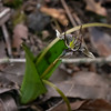 Scoliopus bigelovii (fetid adder's tongue). The whole flower is only about an inch across.