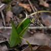 Scoliopus bigelovii (fetid adder's tongue).