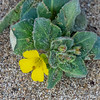 Camissoniopsis cheiranthifolia (beach evening primrose).  In the sand just a ways beyond the bridge.