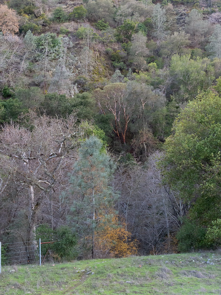Just across the bridge by the Little Yosemite trailhead, looking up the hill (west) across Alameda Creek.  This is a real interesting tree mix: the ranges of the gray pines (who like it very dry) and madrones (who want more moisture) meet here.