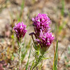 Castilleja exserta (Purple Owl's Clover).   Only a few of these out today, and, in this dry year, they are rather small.