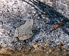 Sierran tree frog (Pseudacris sierra) by the bank.