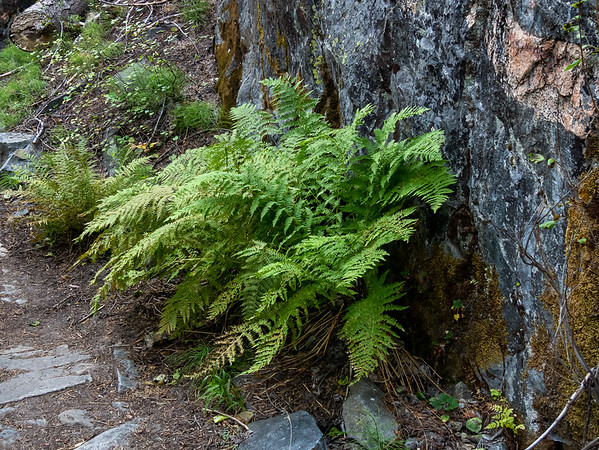 Friday, August 14.  The Fish Creek trail beyond Island Crossing follows the stream through forest for the next few miles.  Wood fern.