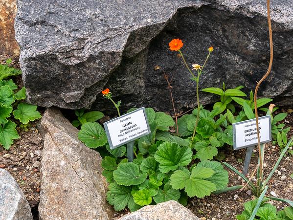 Der Alpengarten im Belvederegarten.  A very familiar garden plant.
