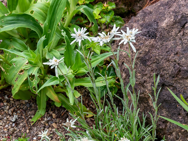 Leontopodium alpinum  (Edelweiss) in that little alpine display.  (University of Vienna Botanical Garden, June 27, 2015.)