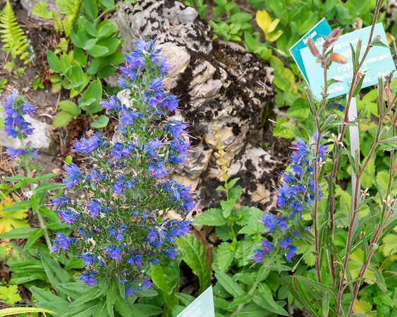 """Echium russicum ... so read a sign by it's base.  But this looks like Echium vulgare, so that sign may have been for a different plant.  E. russicum has longer stems of reddish flowers. The label showed a common name of 'Roter Natterkopf"""" -- """"Red snakehead"""".  (In the English-speaking world, Echium is often """"Viper's bugloss"""".)"""
