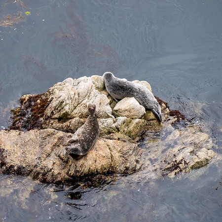 And around on the north side of the point, harbor seals.